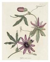 Lavender Blooms II Framed Print