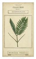 Linnaean Botany IV Framed Print