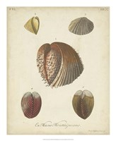 Antique Knorr Shells II Fine Art Print