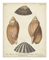 Antique Knorr Shells V Fine Art Print