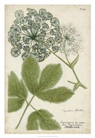 Queen Anne's Lace Fine Art Print