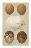 Antique Bird Egg Study III Fine Art Print