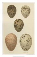 Antique Bird Egg Study IV Fine Art Print