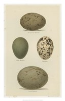 Antique Bird Egg Study V Fine Art Print