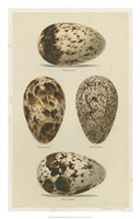 Antique Bird Egg Study VI Fine Art Print