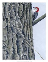 Red Bellied Woodpecker II Framed Print