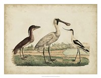 Avocet & Boat-Billed Heron Framed Print