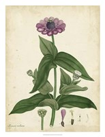 Antique Zinnia Fine Art Print
