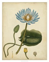 Blue Water Lily Fine Art Print