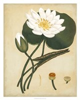 White Water Lily Fine Art Print