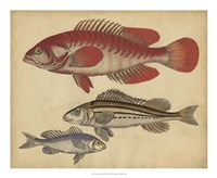 Species of Fish II Framed Print