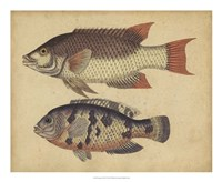 Species of Fish IV Framed Print