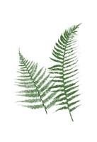 Green Ferns Framed Print