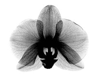 Orchid, Small  X-Ray Fine Art Print