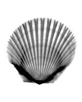Scallop #3 X-Ray Framed Print