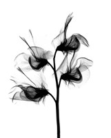 Sweet Pea X-Ray Fine Art Print