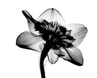 Daffodil #1 X-Ray Fine Art Print