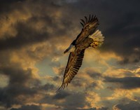 Bald Eagle at Sunset Fine Art Print
