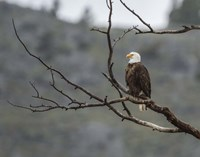 Bald Eagle Perched Fine Art Print