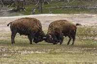 Bison Bulls Sparing Fine Art Print