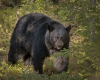 Black Bear Sow Fine Art Print