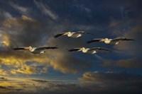 Pelican Foursome Fine Art Print