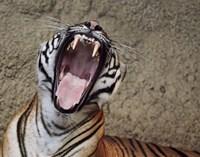 Malayan Tigress Yawn Fine Art Print