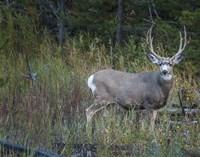 Mule Deer Buck Fine Art Print