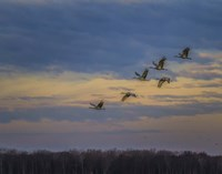 Sandhill Cranes At Sunrise Fine Art Print