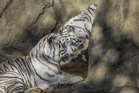 White Tiger Headbutt Fine Art Print