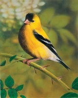 Gold Finch Fine Art Print