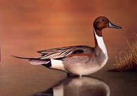 Northern Pintail II Fine Art Print