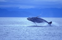 Whale Jumping out of Ocean Fine Art Print