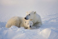 Polar Bears Huddled Together Fine Art Print