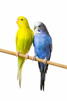 Gorgeous Yellow and Blue Birds Fine Art Print
