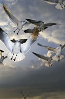 White Doves Flying in Sky Fine Art Print