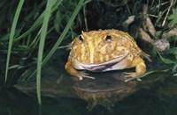 Yellow and Brown Bullfrog Fine Art Print