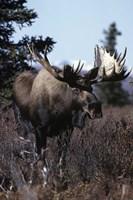 Giant Moose Fine Art Print