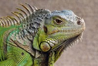 Close Up of Green Iguana Fine Art Print