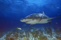 Shark Swimming Under Water Fine Art Print