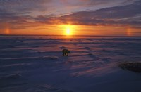 Lone Polar Bear Against Sunset Fine Art Print