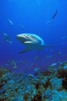Shark Surrounded by Fish Fine Art Print