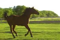 Horse Galloping in Grass Fine Art Print