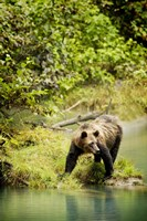 Brown Bear near Lake Fine Art Print