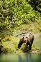 Brown Bear near Lake Fine Art Print