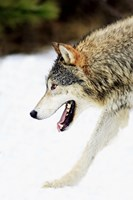 Close up of Wolf in Snow Fine Art Print