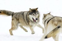 Wolves Fighting in Snow Fine Art Print
