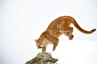 Bobcat Prowling on Snowy Mountain Fine Art Print