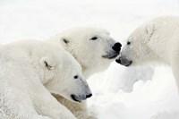 Three Polar Bears Nuzzling Noses Fine Art Print