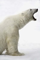 Polar Bear Roaring Fine Art Print
